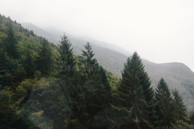 Jedlinowi drzewa na zboczu zdjęcia royalty free