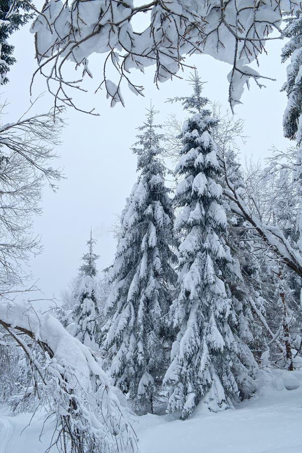 Jedlinowi drzewa w pełni zakrywający śniegiem w zima lesie obrazy royalty free