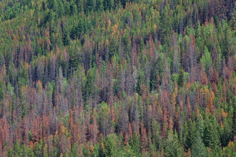 jedlinowi lasów sosnowi fotografia stock