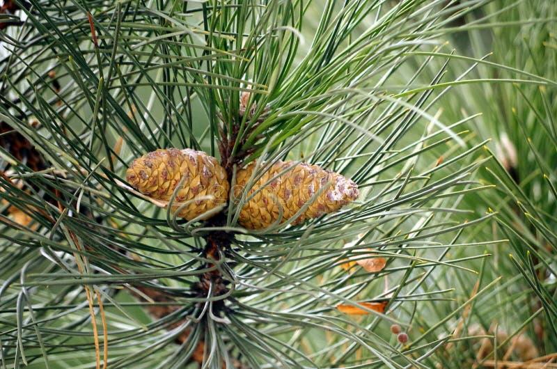 Jedlinowi rożki w zimie fotografia stock