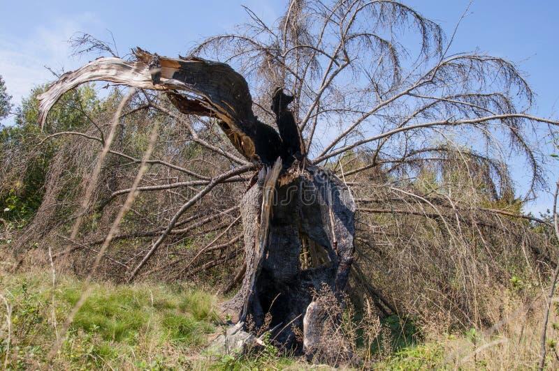 Jedlinowy drzewo łamający błyskawicą, po ciężkiej burzy zdjęcia royalty free