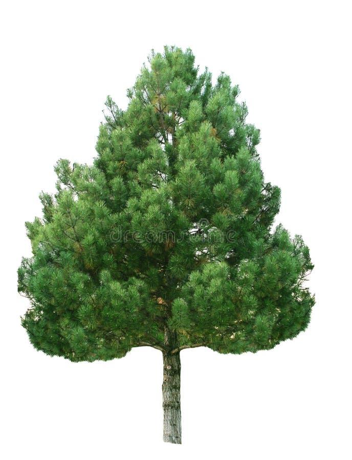 Jedlinowy Drzewo obraz royalty free