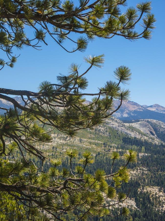 Jedlinowy drzewo w Yosemite parku zdjęcie royalty free