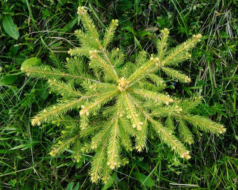 Jedlinowy drzewo widzieć od above fotografia stock