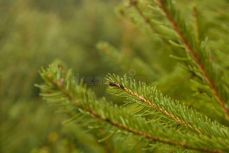 jedlinowy gałęziasty zamknięty jedlinowy drzewo fotografia royalty free
