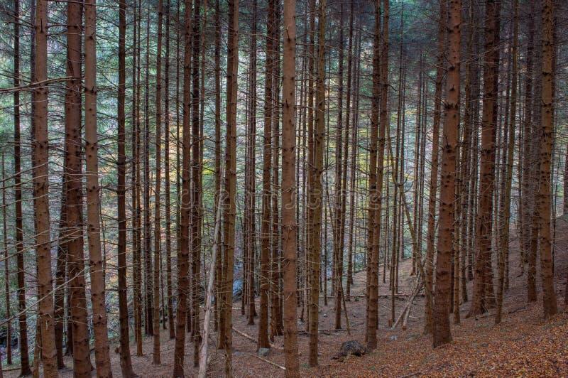 Jedlinowych drzew infestation obrazy stock