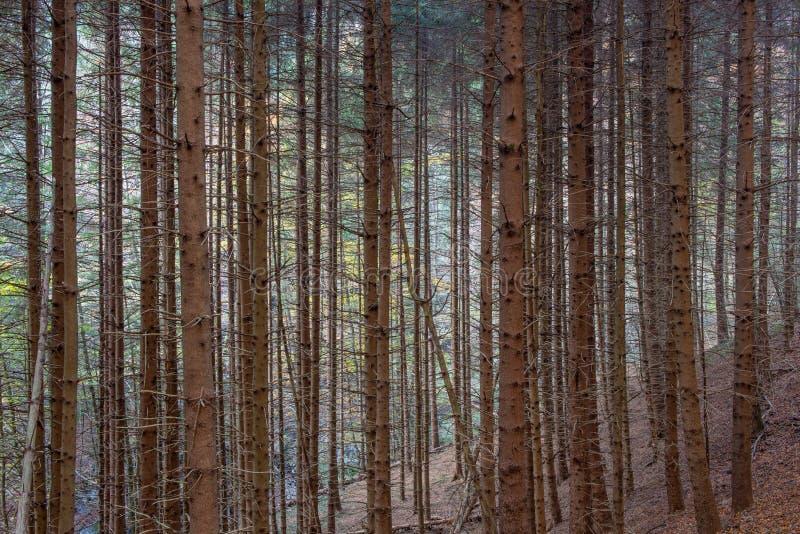 Jedlinowych drzew infestation obraz royalty free