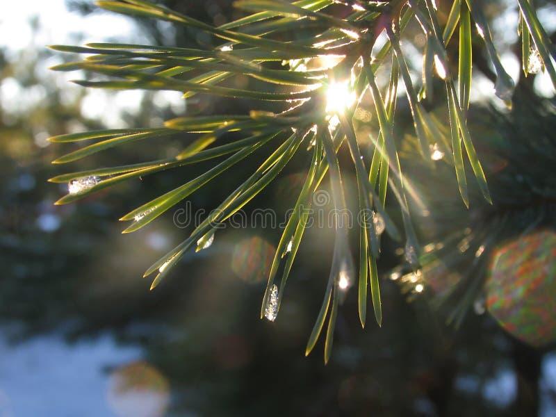 Jedliny gałąź lśnienie na słońcu w lodowych kropelkach obraz royalty free