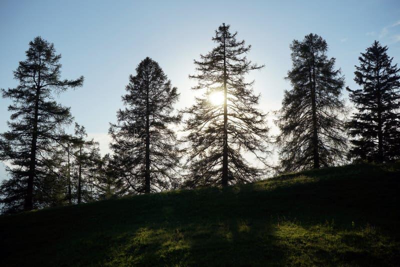 Jedliny i wschód słońca zdjęcie stock