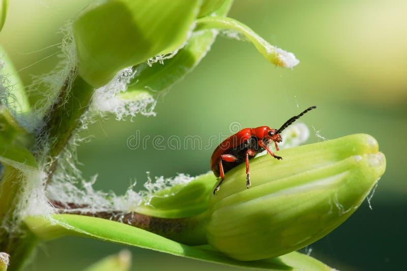 Jednakowy lelui rodziny lat Lilioceris lilia od rodziny liść ścigi, karma na liściach, pączki, trzony i kwiaty rośliny o, obrazy stock