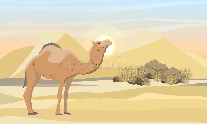 Jednogarbny wielbłąd w pustyni z diunami, kamieniami i suchą trawą,