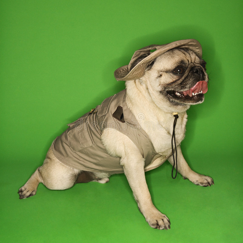 jednym psem safari mopsa nosić fotografia stock