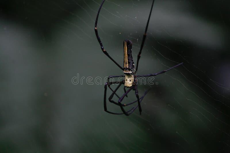 jedwabniczy pająki, Gigantyczny Drewniany pająk, Nephila pilipes, Nephila maculata, Nephilidae obraz stock