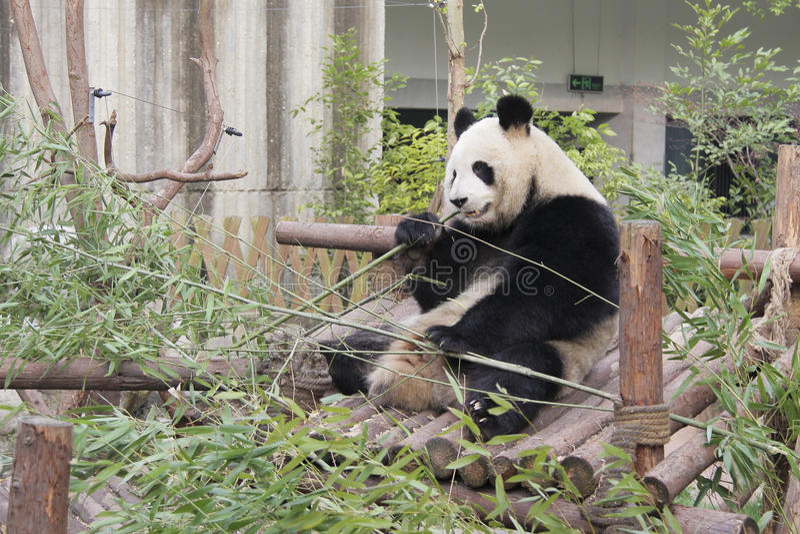 jedząc bambusowego olbrzymia panda zdjęcie stock