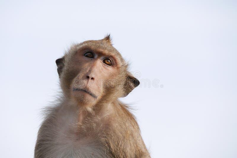 jedząc makak kraba obraz royalty free