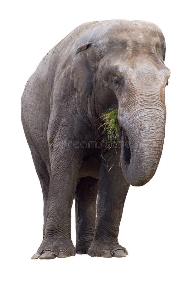jedząc wycinanki słonia trawy. obraz royalty free