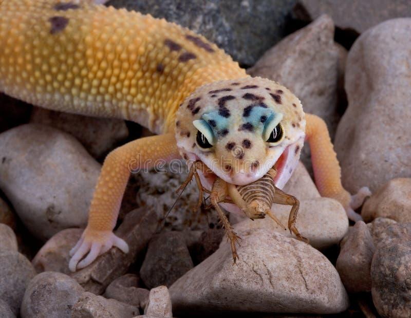 jedzenie gekonu krykieta lampart zdjęcie royalty free