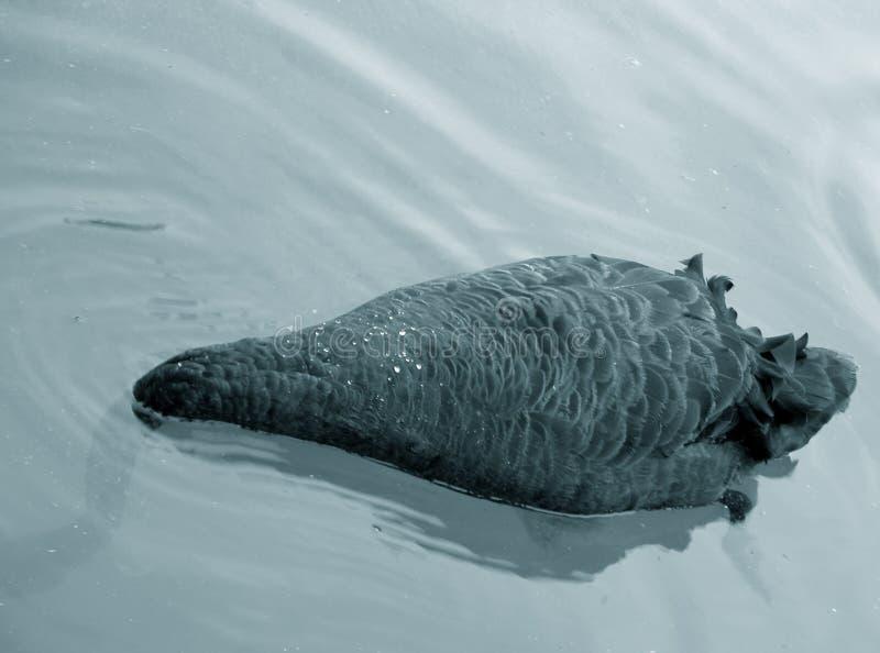 Download Jedzenie Gmerania Czarny łabędź Obraz Stock - Obraz złożonej z zwierzę, skrzydła: 27557