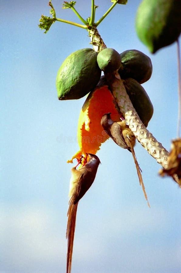 jedzenie mousebirds papaja obraz stock