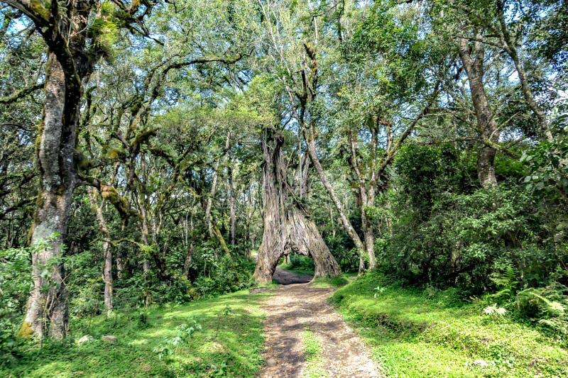 Jedzie przez figi drzewa, Ficus drzewo z dziurą dla samochodu obraz stock