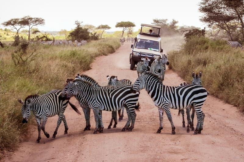 Jeep door zebras op safari wordt omringd die royalty-vrije stock afbeeldingen
