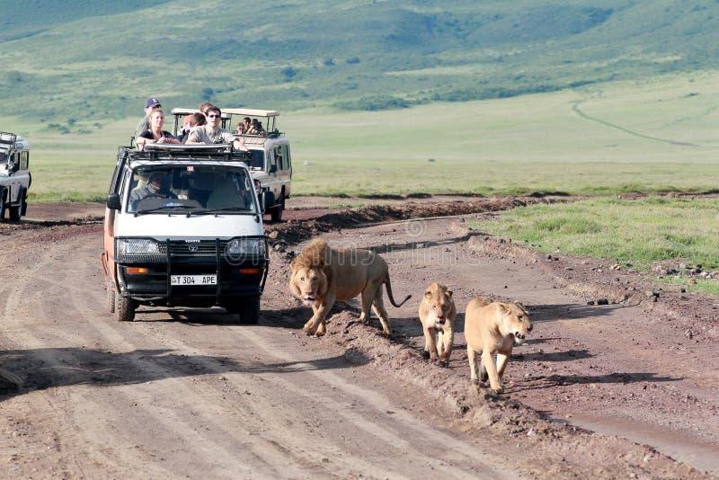 Jeeps met toeristen die op de weg voor een troep leeuwen reizen, het Nationale Park van Ngorongoro, Tanzania. royalty-vrije stock afbeelding