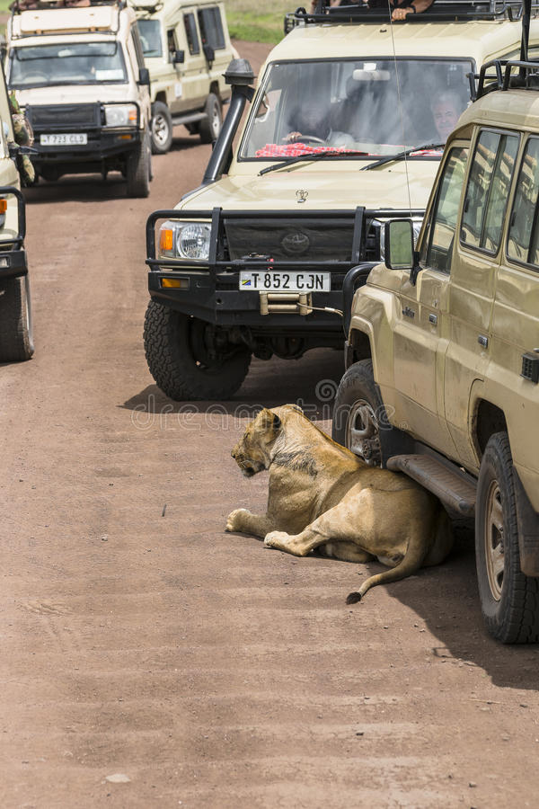 Jeepsafari in Afrika, reizigers gefotografeerde leeuw stock fotografie