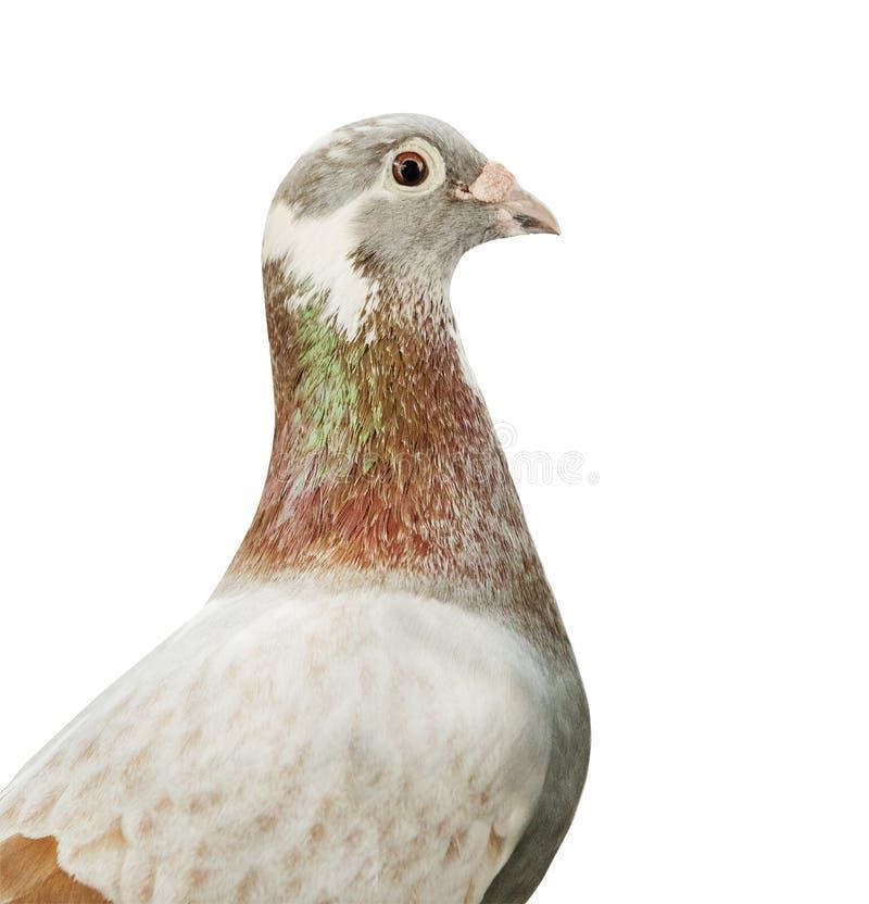 Jefe ascendente cercano del fondo blanco aislado pájaro harinoso rojo de la paloma autodirigida del color de la pluma foto de archivo