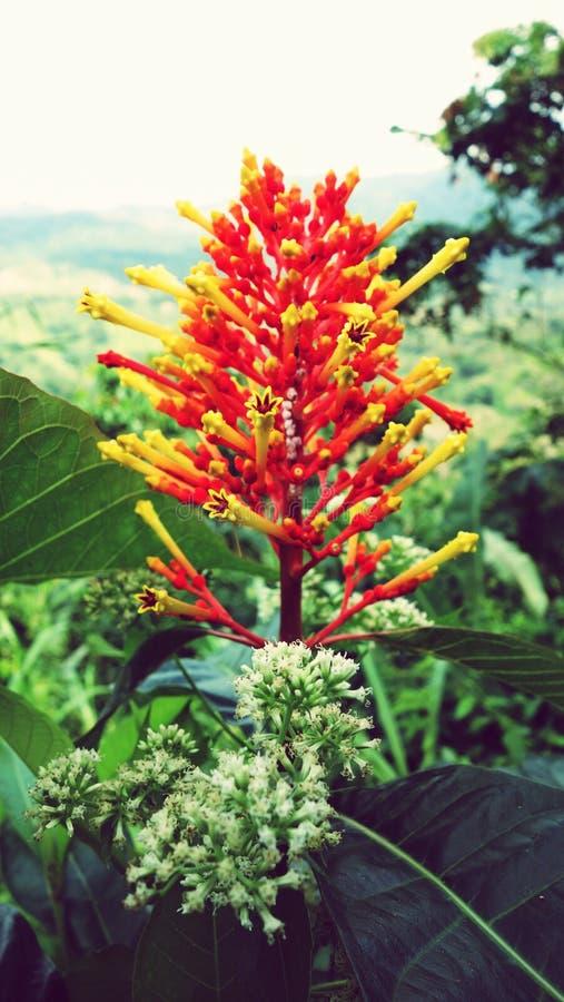 Jefe de flor colorido de la selva tropical colombiana fotos de archivo