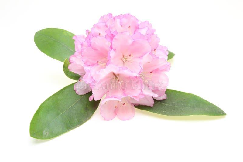 Jefe de flor del rododendro con la hoja imagenes de archivo