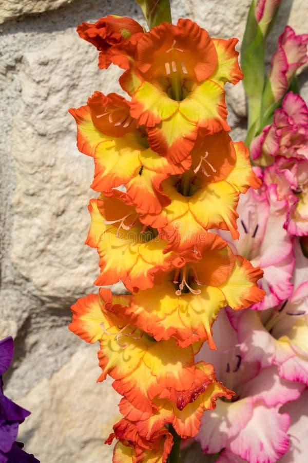 Jefe de la flor del gladiolo fotos de archivo libres de regalías