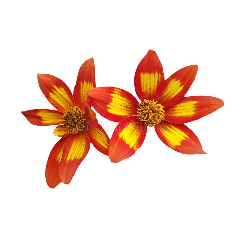 Jefe de la flor del margerite en el fondo blanco imagen de archivo libre de regalías