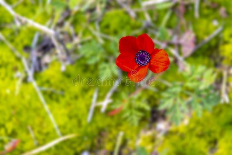 Jefe de la opinión superior floreciente de la anémona roja sobre fondo verde imagen de archivo