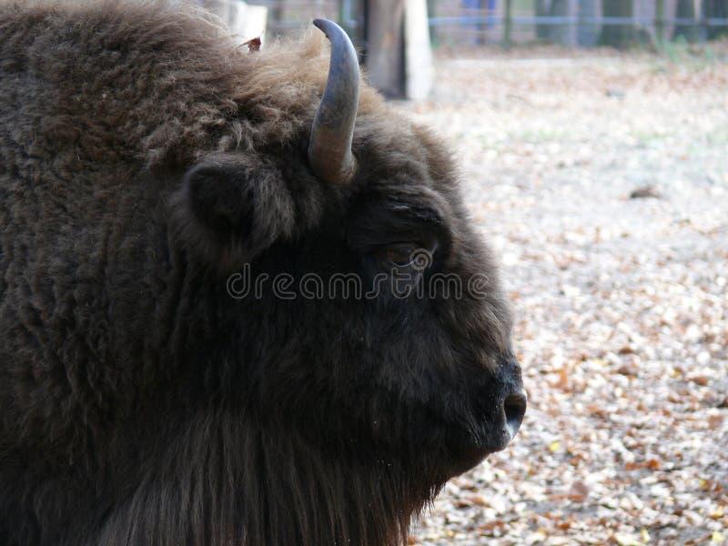 Jefe de un bisonte fotografía de archivo libre de regalías