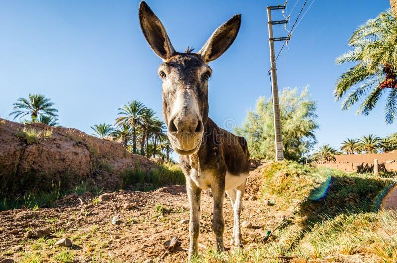 Jefe divertido de la situación del burro en oasis marroquí con las palmas foto de archivo