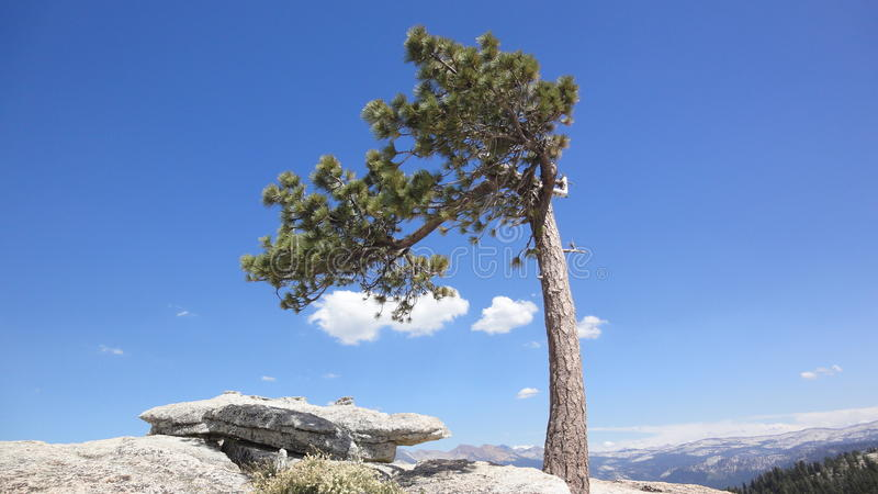 Jeffery Pine on Sentinel Dome stock photos