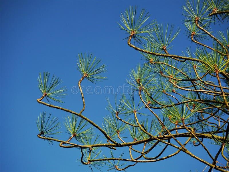 Jeffrey-` s Kiefer verzweigt sich und Nadeln mit einem blauen Himmel lizenzfreies stockbild