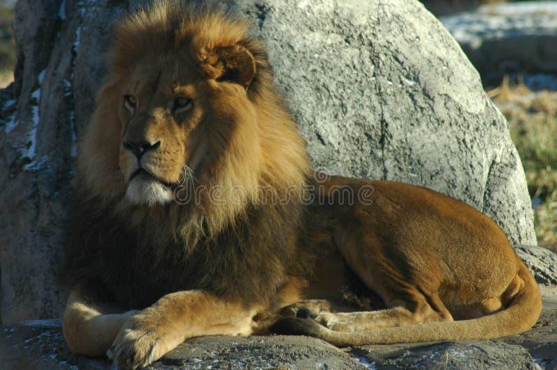 jego królestwo lwa przeglądu zdjęcia stock