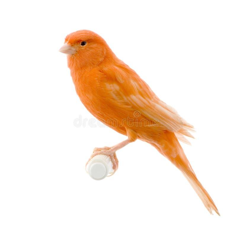 jego okonia czerwone kanarek zdjęcie stock