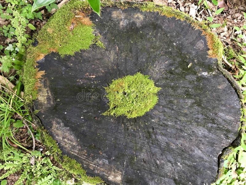 Jeju wyspy Korea Drzewny wzrostowy pierścionek obrazy stock