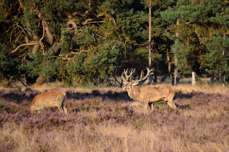 Jeleń i łania obraz stock