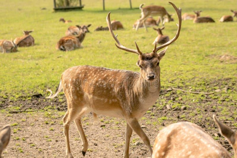 Jeleń z poroże fotografia royalty free
