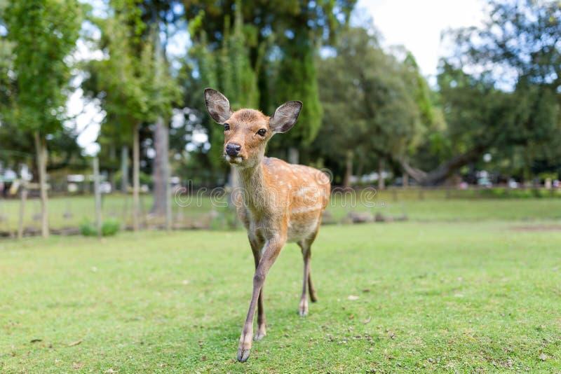 Jeleni źrebięcia odprowadzenie w parku fotografia royalty free