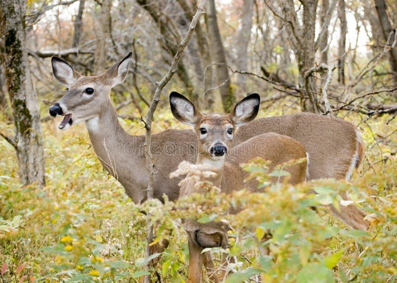jeleni królicy whitetail roczniak zdjęcia stock