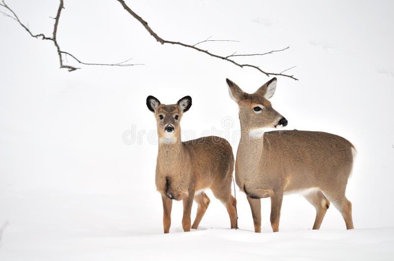 jeleni królicy whitetail roczniak zdjęcia royalty free