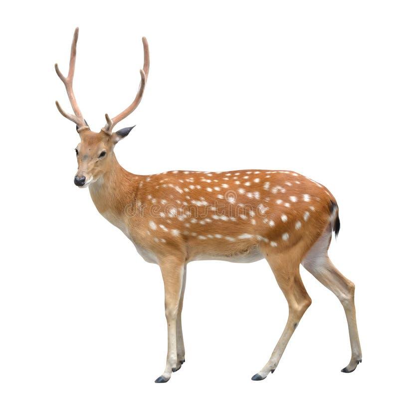 jeleni męski sika fotografia stock