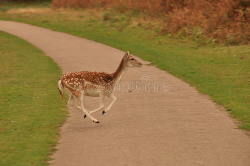 jeleni potomstwa fotografia royalty free