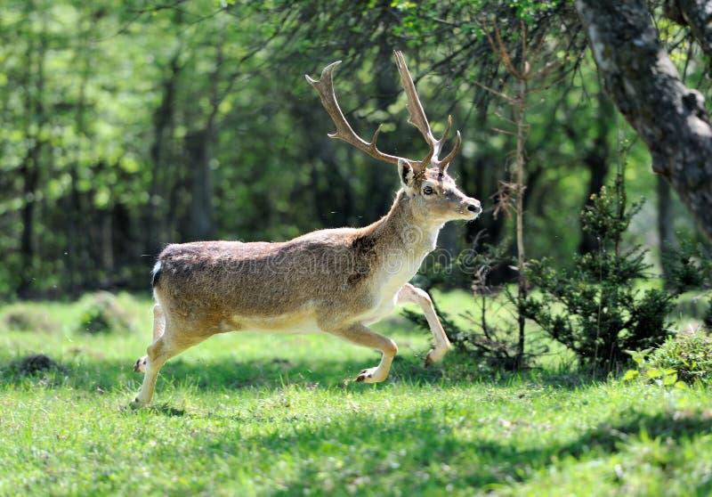 jeleni roe zdjęcie royalty free