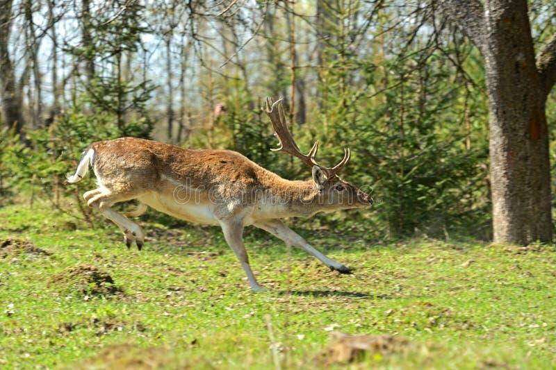 jeleni roe fotografia stock
