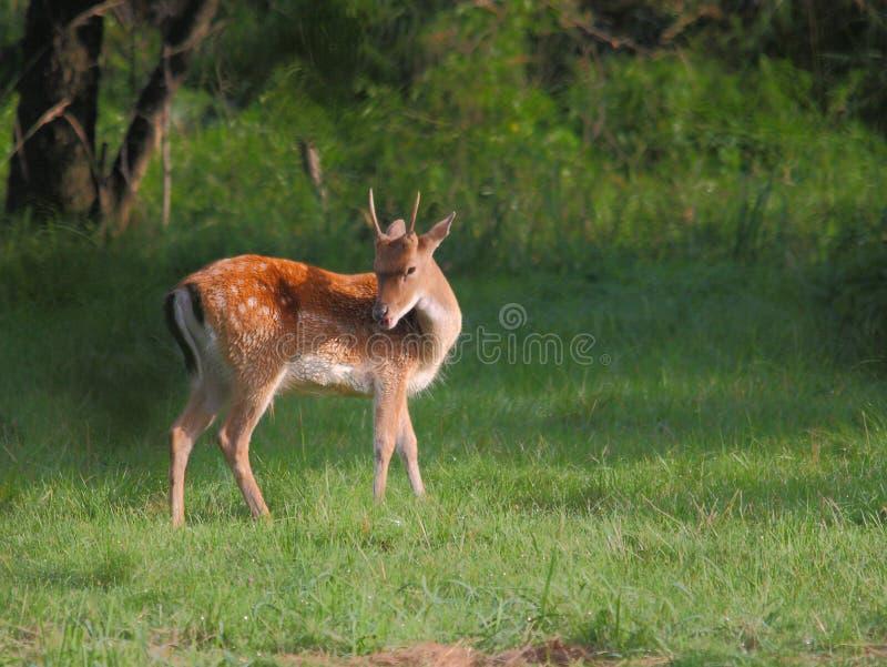 jeleni ugorów young zdjęcia stock